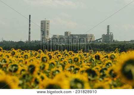 Field Of Sunflowers Near Coal Power Plant. Industrial Landscape With The Mine Buildings