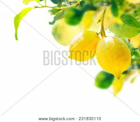 Hanging Lemon Fruits And Leaves Over White Background With Copy Space