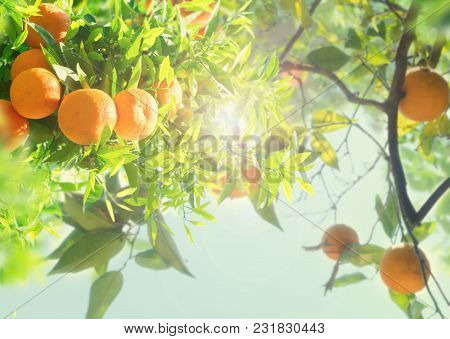 Garden With Orange Tree Branches Over Blue Sky