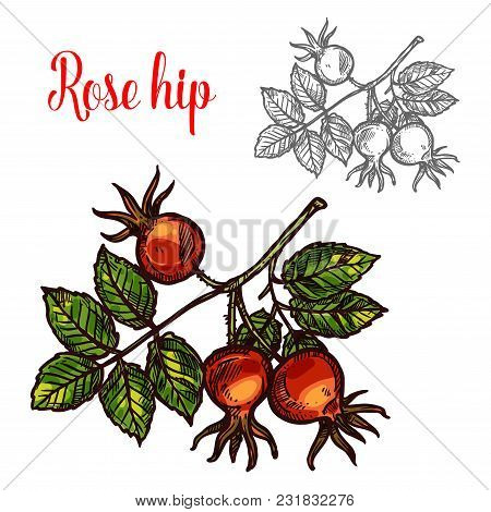 Rose Hip Fruit Sketch Icon. Vector Botanical Design Of Rose Hep Or Haw Berry Fruit Of Dog Rose Plant