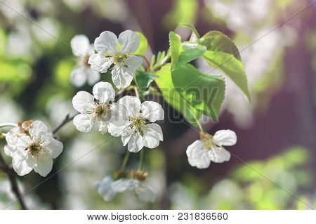 Delicate Spring Background With White Cherry Blossoms On Tree Branches.