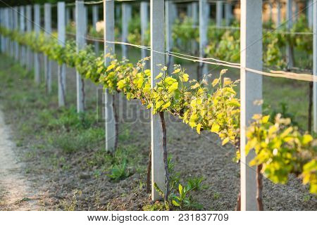Young Green Leaves The Vineyard In The Spring, Lit By Sunlight