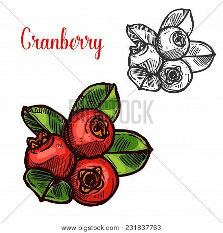 Cranberry Berry Color Sketch Icon. Vector Botanical Design Of Cranberries Fruits Bunch With Leaf For