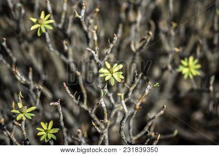 Launaea Arborescens Dried On Lanzarote. Arid Territory Of Lanzarote, Canary Islands.