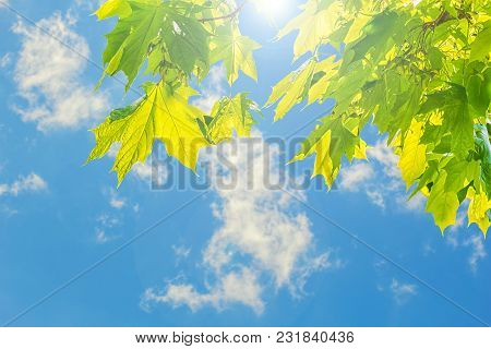 Green Maple Leaves On The Background Of Spring Foliage On The Setting Sun On A Sky Background Close
