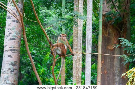 Toque Macaque Monkey, Macaca Tit, Male Sitting On A Branch. Green Tropical Forest Island Of Sri Lank