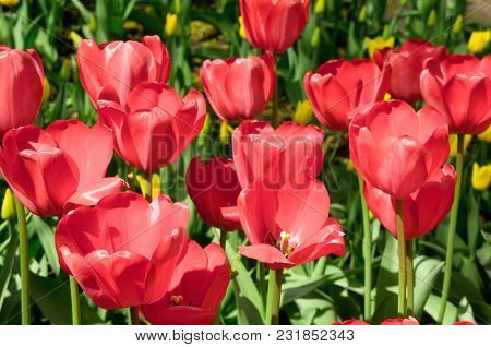 Tulips Everywhere On a Sunny Day