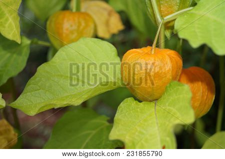 Physalis peruviana cherry - The decorative flower with the colourful Lampion and his eatable cherry poster