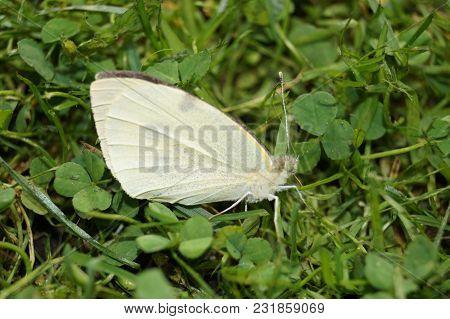 Pieris Brassicae The White Butterfly On Buddleja Davidii