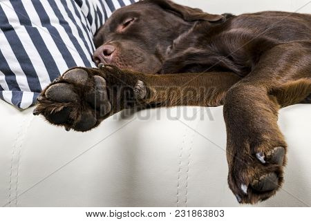 Brown Chocolate Labrador Retriever Dog Is Sleeping On Sofa With Pillow. Sleeping On The Couch. Young