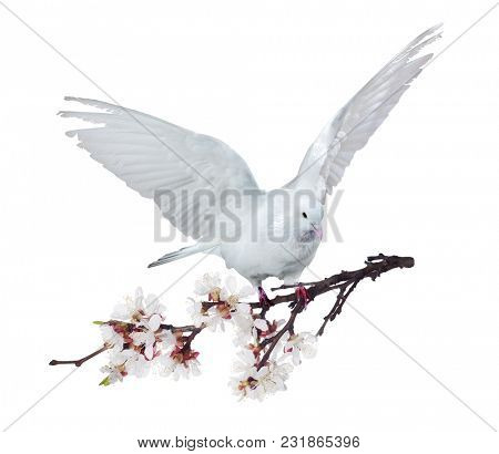 photo of flying dove with blossoming cherry tree branch isolated on white background