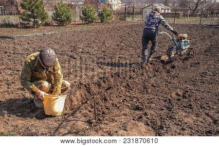 The Process Of Planting Potatoes. Two Men Plant Potatoes. One Man Puts The Potatoes In The Soil From