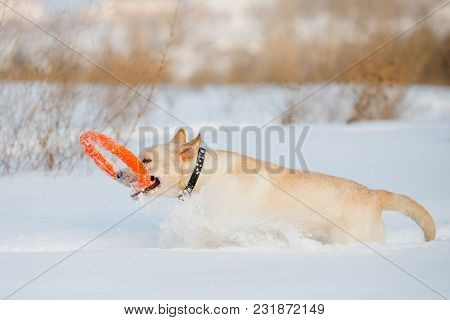 Labrador Dog Carries Ring In Winter. Concept Training Of Dogs For Rescue In Snow Avalanches.