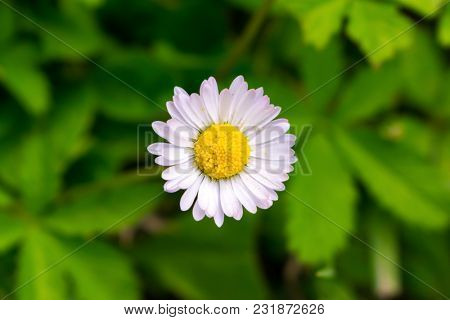 Daisy macro closeup
