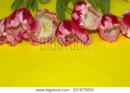 Pink Tulips On Yellow Background.  Blooming Flowers Over Yellow Background. Flower Background. Tulip