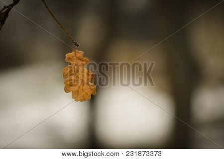 Dead Oak Leaf On A Branch Against Blurry Background