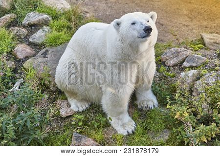 Polar Bear In The Wilderness. Wildlife Animal Background. Horizontal