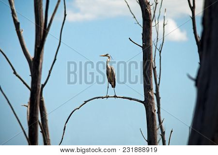 Swamp Heron Sitting In A Tree On Blue Sky Background