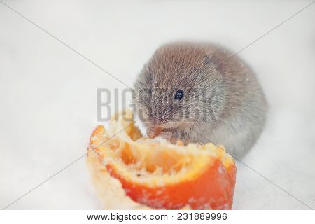 Closeup Cute Field Mouse Sitting On A White Snow And Eating The Fruit