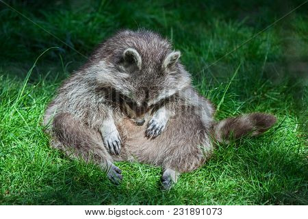 Funny Lazy Raccoon (procyon Lotor) Sitting And Relaxing In The Grass.