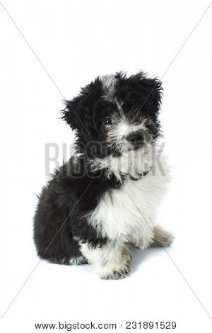 furry little adorable puppy looking at camera while sitting on a white background