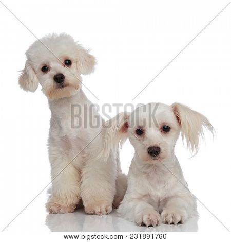 two little white surprised bichon puppies relaxing on a white background