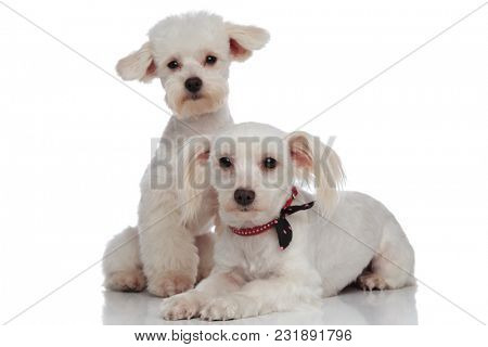 adorable white bichon couple relaxing on a white background, one lying down and the other sitting behind