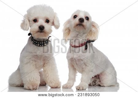 adorable proud bichon couple wearing cute collars while sitting on a white background