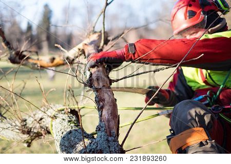 Arborist Man Cutting A Branches With Chainsaw And Throw On A Ground. The Worker With Helmet Working