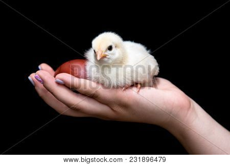 Hand Of A Young Teenager Holding A Yellow Baby Chicken And An Easter  Red Egg. Concept Of Easter Cel