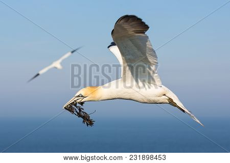 Flying Northern Gannet With Spread Out Wings Collecting Kelp To Build A Nest At The Cliffs Of German