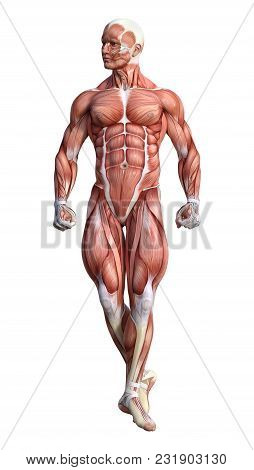 3D Rendering Male Anatomy Figure On White