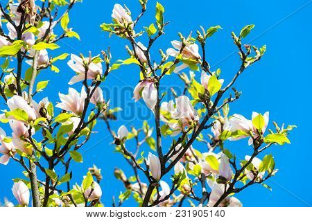 Blossoming Of Magnolia Trees Against Blue Sky During Spring