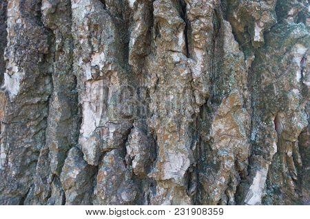 Close Shot Of Dry Bark Of Black Poplar
