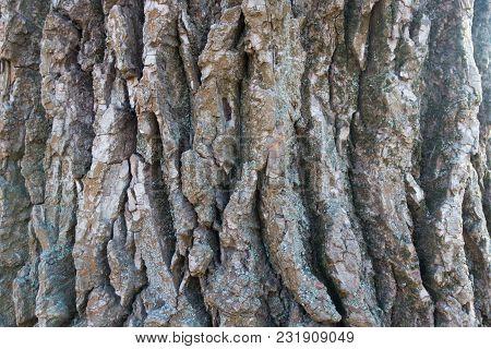 Close View Of Dry Bark Of Black Poplar