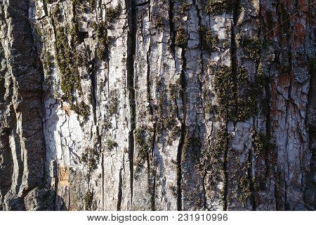 Dead Moss On Bark Of Black Poplar