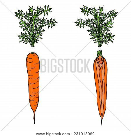 Fresh Orange Carrots With Leaves. Half Of Carrot. Sliced Carrot. Ripe Vegetables. Carrots With Tops.