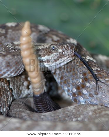 This black-tailed rattlesnake was rattling it's tail while it was being photographed. poster
