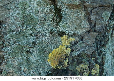 Blue And Yellow Lichens On Bark Of Horse Chestnut