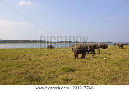 Sri Lankan Wild Elephants At Minnerya National Park With Tropical Woodland Near A Lake Under A Blue