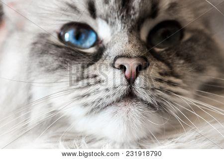 Siberian Neva Masquerade Close Up Cat Face. Main Focus On Nose. Cat Deep Blue Eye Blurry, Noisy And