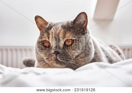 British Shorthair Cat Lying And Resting On A White Bed