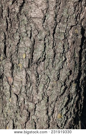 Fissured dry bark of horse chestnut tree poster
