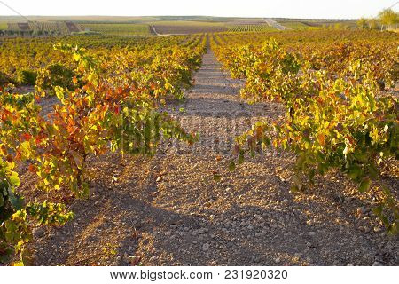 Vines Plantation Rows Under October Sunset Light At Tierra De Barros,  Extremadura, Spain