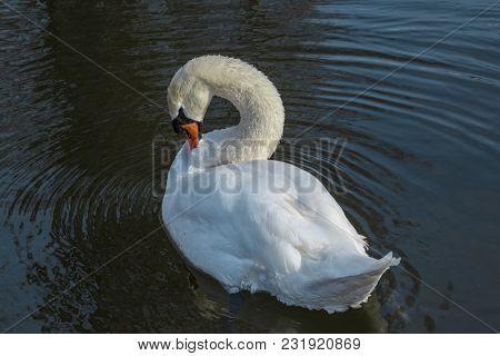 White Swan On The Lake, Making His Plumage.