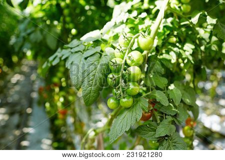 Several green tomatoes hanging over leaves of rich vegetation in hothouse