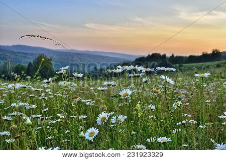 Pink Twilight Over A Summer Flowering Meadow With Chamomiles And Other Aromatic And Melliferous Flow