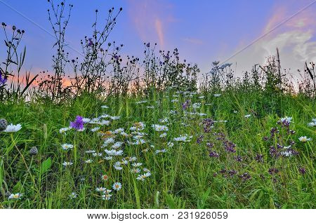 Pink Twilight Over A Summer Flowering Meadow With Chamomiles, Oregano And Other Aromatic, Medicinal