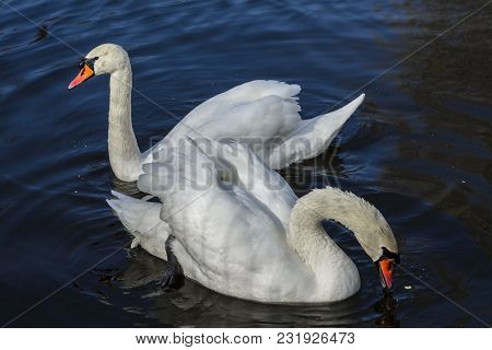 White Swans On The Lake, Looking For Food.