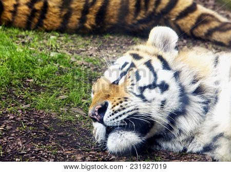 Sleeping Tiger On The Ground